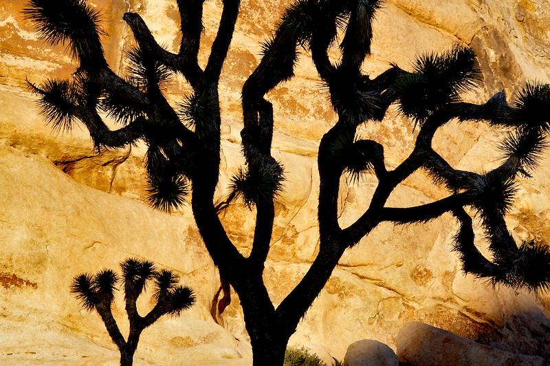 Silhouetted Joshua tree. Joshua Tree National Park. California
