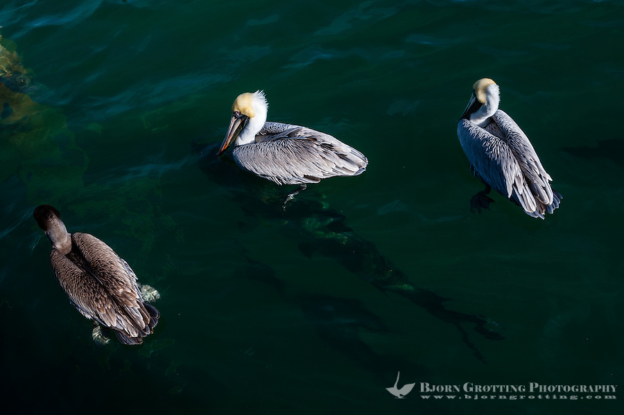 US, Florida, Key West. Pelicans, large tarpon's beneath the surface.