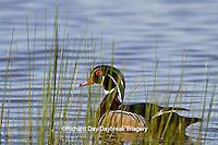 00715-07914 Wood Duck (Aix sponsa) male in wetland, Marion Co., IL
