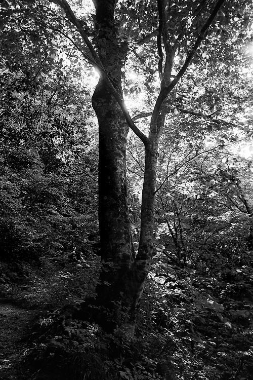 Forest of Japanese beech trees or buna in Shiramaki Sanchi.