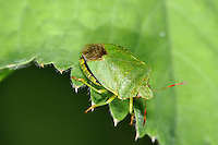 Green Shield Bug - Palomena prasina