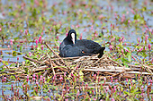 Coot (Fulica atra) on nest with chick peeking out. Coots aggressively defend their young and territory during the breeding season. In contrast, Coots have also been known to kill their own young, usually the youngest of the brood if they have too many to feed successfully, Lancashire, UK