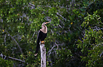 A female Anhinga, Anhinga anhinga, perched on a stump in the Ria Lagartos Biosphere Reserve, Yucatan, Mexico.  Also known as the Snakebird or American Darter.