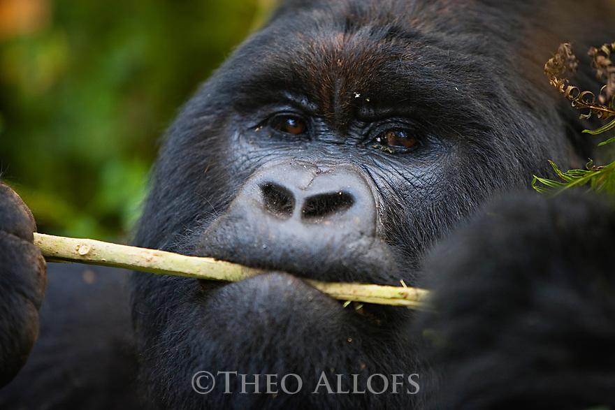 Rwanda, Volcanoes National Park, male mountain gorilla (Gorilla beringei beringei), silverback, chewing on branch