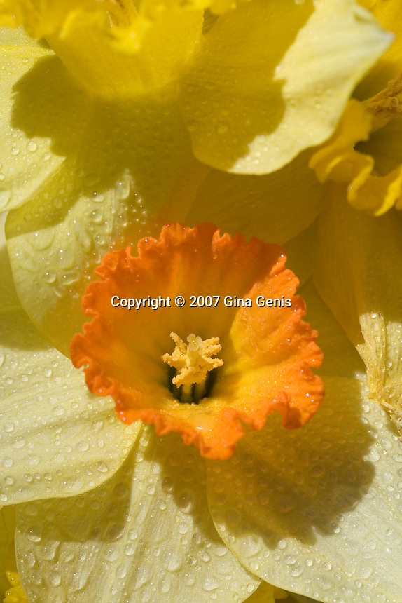 Close up image of a daffodils with water droplets in the soft sunlight