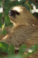 Fauna, animals. Sloth, Pantanal Matogrossense, Brazil.