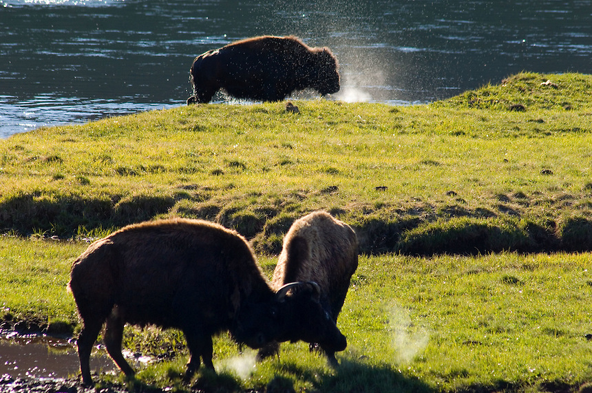 One bison shakes off water after crossing the Yellowstone River while two young bulls spar in a meadow in Yellowstone National Park, Tuesday, May 31, 2005. (Kevin Moloney for the New York Times)