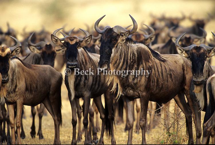 A wildebeest group