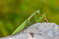 Gottesanbeterin, Europäische Gottesanbeterin, mit Heuschrecke als Beute, Beutetier, Fangschrecke, Mantis religiosa, Praying Mantis, Fangschrecken, Mantodea, mantises, mantes, mantid, mantids, Mante religieuse, mantoptères