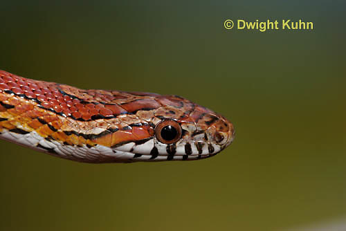 1R22-614z  Corn Snake, Banded Corn Snake, Elaphe guttata guttata or Pantherophis guttata guttata, close-up of head and eye