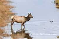 01980-02815 Elk (Cervus elaphaus) cow female with 3 legs crossing stream, Yellowstone National Park, WY