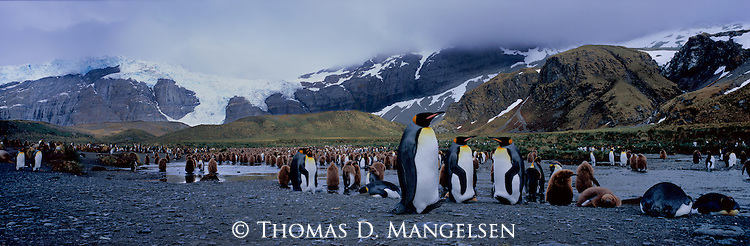 A king penguin colony on an early morning at Gold Harbour in South Georgia.