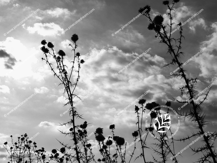 Black & white fine art stock image of shrubs silhouette against clouds and sky.<br />