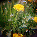 Yellow Dandelion flowers with green leaves