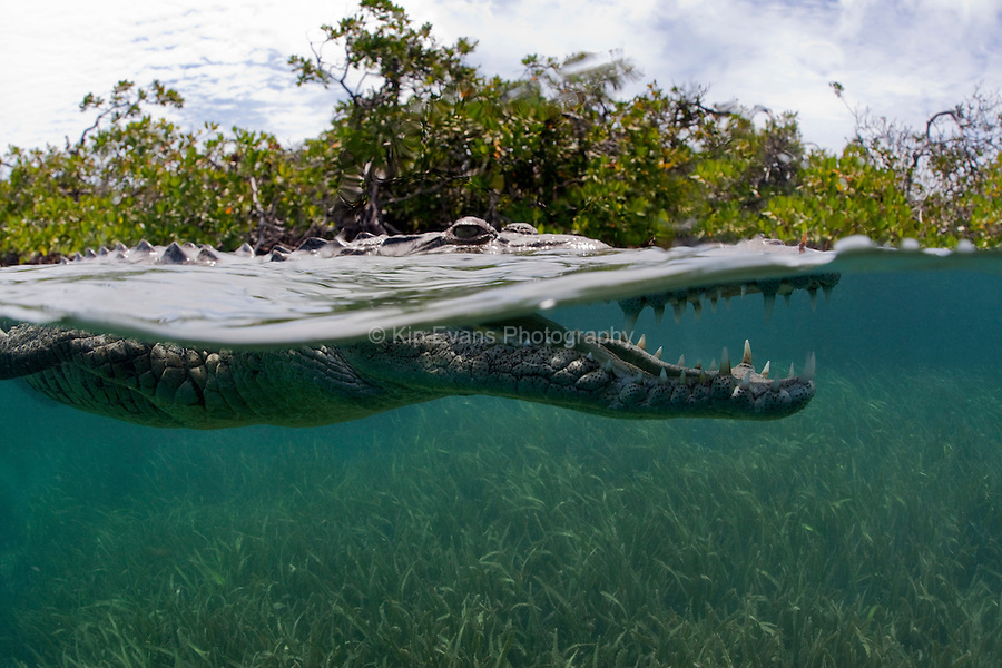 A split water view of a American Crocodile swimming through a mangrove forest in Cuba.