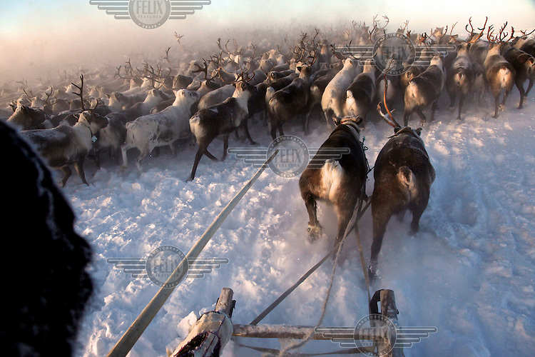 A Nenets herder rounds-up his reindeer near Naryan-Mar. The Nenets are the original inhabitants in the Russian Arctic but have been displaced by both Soviet-era collectivisation and modern gas and oil exploration. Reindeer provide the Nenets with food, shelter and clothing. They sell reindeer meat to sausage factories and the antlers to China for use as traditional medicine. /Felix Features