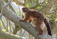 Lemur climbing a tree, in the Zone Madagascar of the new Parc Zoologique de Paris or Zoo de Vincennes, (Zoological Gardens of Paris or Vincennes Zoo), which reopened April 2014, part of the Musee National d'Histoire Naturelle (National Museum of Natural History), 12th arrondissement, Paris, France. Picture by Manuel Cohen
