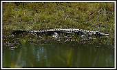 Malawi - warming in the morning sun, a crocodile at Mvuu Camp .... Pic Donald MacLeod 29.05.05