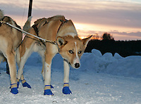 """Aaron Burmeisters lead dog """"Elim"""" has his eye on the trail as they ready to leave Takotna on Thursday morning after their 24 hour layover."""