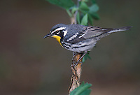 Yellow-throated Warbler - Setophaga dominica - breeding adult