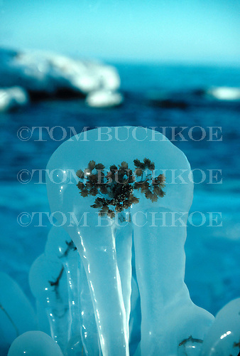 Ice covered plant along the shore of Lake Superior.