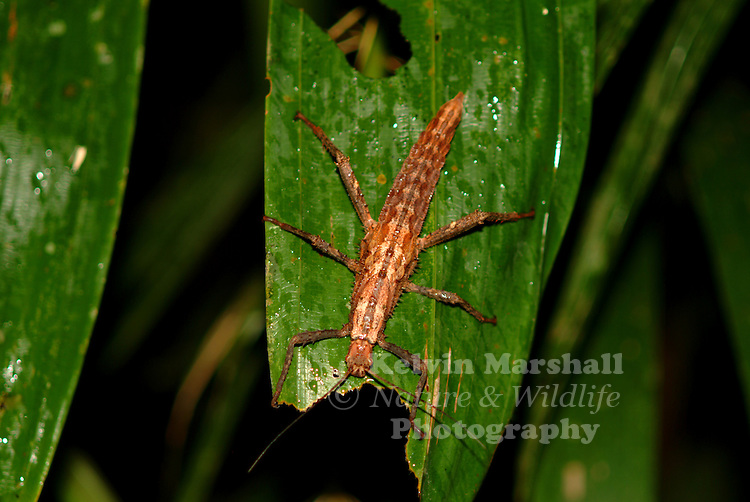 The Phasmatodea (sometimes called Phasmida) are an order of insects, whose members are variously known as stick insects. This image of a Haaniella nymph was taken on a night walk in Bako National Park.