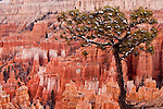 Lone tree standing over Bryce Canyon Utah hoodoos.