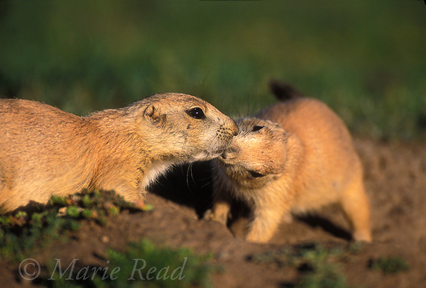 Black-tailed Prairie Dogs (Cynomys ludovicianus) &quot;kissing&quot;, Wichita Mountains National Wildlife Refuge, Oklahoma, USA<br /> The behavior is a gesture of recognition and identification among members of a social group of these gregarious mammals.<br /> Slide # M14-609