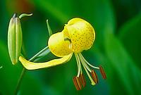 Lillium citronella, Yellow Turks cap, flower