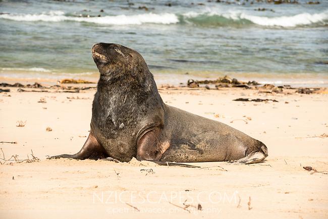 Sea lions at Waipapa Point, Catlins, East Coast, South Island, Southland, New Zealand