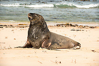 Sea lions at Waipapa Point, Catlins, East Coast, South Island, Southland, New Zealand