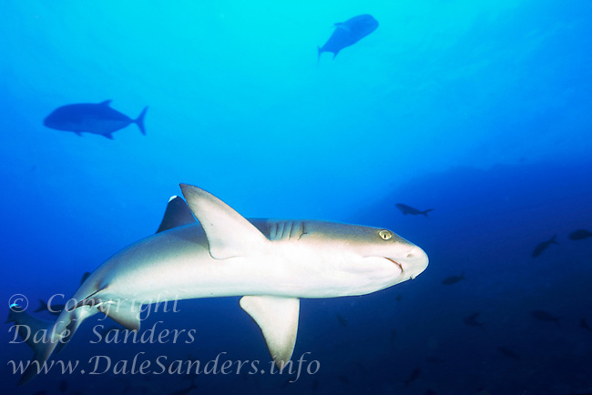 White Tip Reef Sharks ( Triaenodon obesus ) swimming underwater off Cocos Island, Costa Rica.