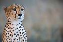 Cheetah (Acinonyx jubatus), portrait, Maasai Mara, Kenya