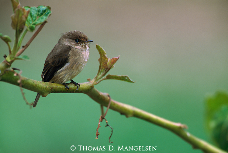 Flycatcher perched on a branch in Volcanoes National Park