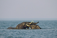 African Elephant (Loxodonta africana) males play fighting/sparring (dominance behavior) in Lake Kariba, Africa.