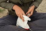 Snowy Plover (Charadrius nivosus) biologist, Karine Tokatlian, placing chick into bag to keep it warm during banding, Eden Landing Ecological Reserve, Union City, Bay Area, California