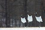 Japan, Hokkaido, red-crowned cranes