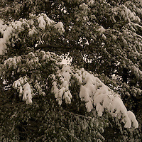 Fresh Fallen Snow on Pines in the Still of the Night. Hamden CT January 7, 2011