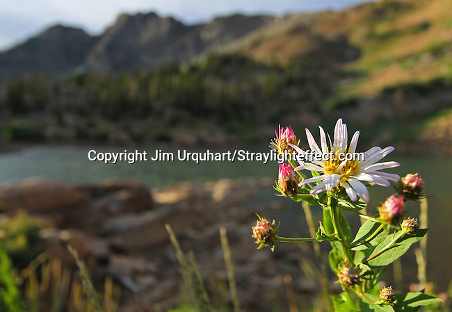 Wildflowers and wildlife in Albion Basin in Little Cottonwood Canyon, Utah.<br /> Jim Urquhart/Straylighteffect.com