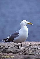 1Z01-020z  Herring Gull - Larus argentatus