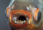 Close-up of a Red-bellied Piranha's Mouth.  Caught the fish in feeder stream to the Amazon, Peru.  Bait was a small piece of raw beef. An omnivorous freshwater fish that inhabits South American rivers. They are known for their sharp teeth and a voracious appetite for meat.  The Red Belled is the one famed by horror movies.