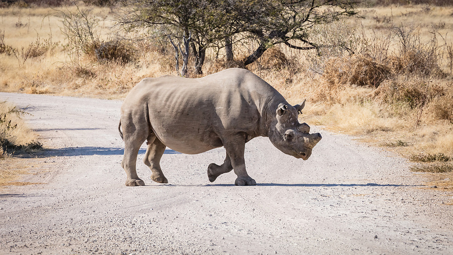A Black Rhino Crosses A Road On The Way To A Waterhole.