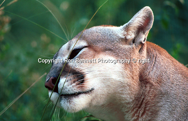 """Mountain lion plays with grass San Bernardino National Forest California, Cougar, Mountain lion, puma, panther, feline, feline pantherinae, hunter-gatherers, Americas solitary cat found in Western Hemisphere is a solitary big cat ambush generalist predator, Fine art Photography and Stock Photography by Ronald T. Bennett Photography ©, FINE ART and STOCK PHOTOGRAPHY FOR SALE, CLICK ON  """"ADD TO CART"""" FOR PRICING, Fine Art Photography by Ron Bennett, Fine Art, Fine Art photography, Art Photography, Copyright RonBennettPhotography.com ©"""
