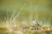 Horned lark on the summer tundra, Denali National Park, Alaska