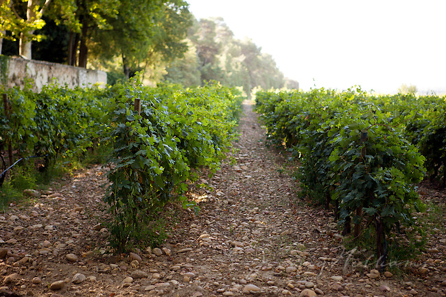 Rows of grape plants at Château La Nerthe, France