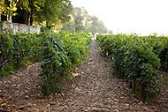 Rows of grape plants at Château La Nerthe, France