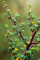 Ceanothus impressus (Santa Barbara Ceanothus) with small leaves