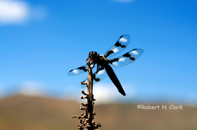 Dragonfly sitting on a plant eating an insect