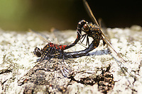 Nordische Moosjungfer, Paarung, Kopula, Kopulation, Paarungsrad, Leucorrhinia rubicunda, Leucorhinia rubicunda, Northern White-faced Darter, Northern Whitefaced Darter