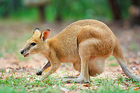 agile wallaby, or sandy wallaby, Macropus agilis, feeding on grass